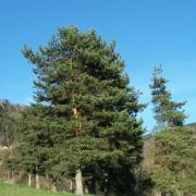 Le pin de l'arrivée